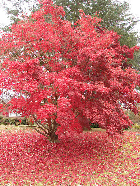Japanese Maple in the mid Fall season