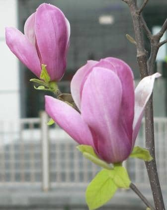 Magnolia tree can add color to your patio