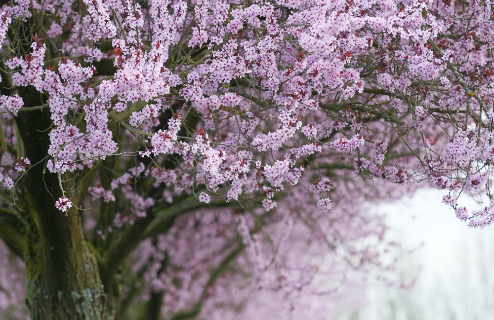 A beautiful flowering tree in the fog