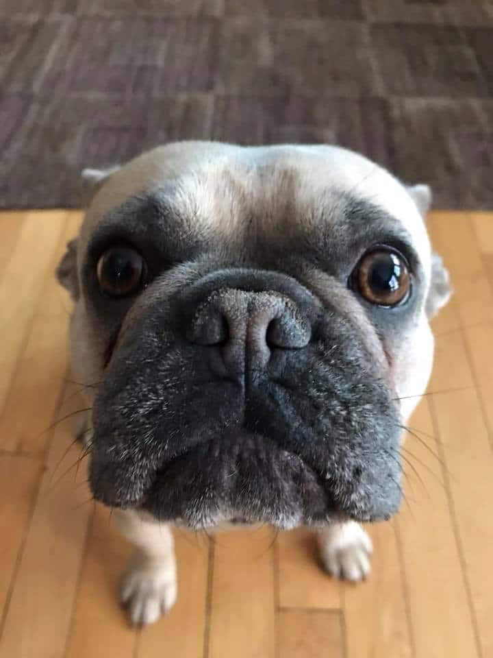 picture of my French Bulldog, Delta